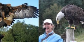 Falconry is back in 2017!